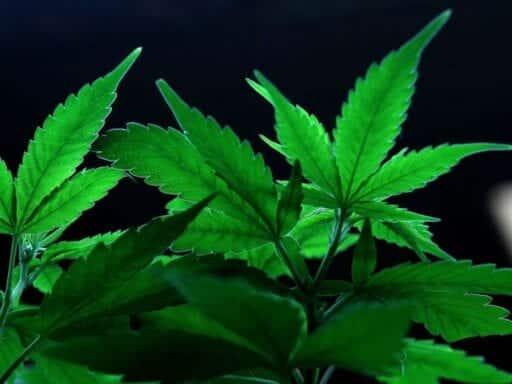 marijuana plants.0