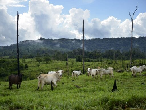 cattle amazon GettyImages 642110337.0